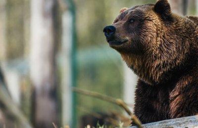 Björnskådning med övernattning