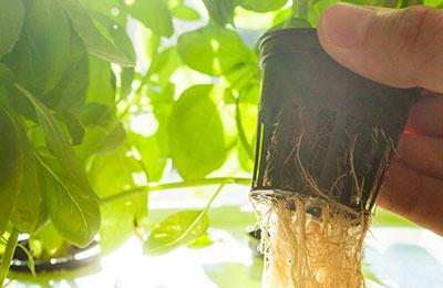 Kurs i hydroponisk odling