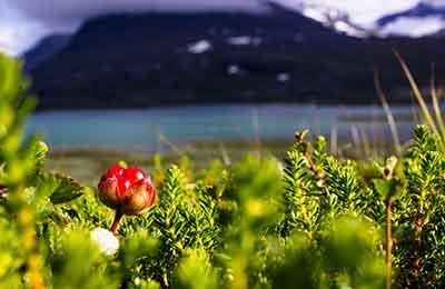 Växter i samisk tradition