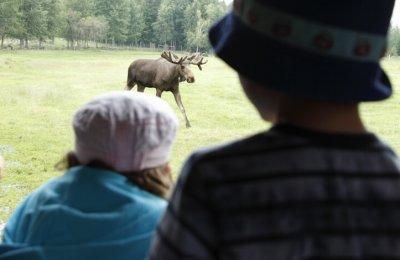 Möt Skogens Konung i Älgparken - vuxen