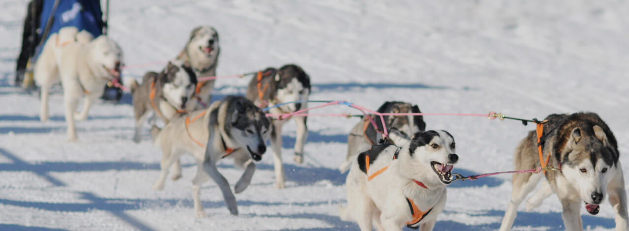 Hundar som springer