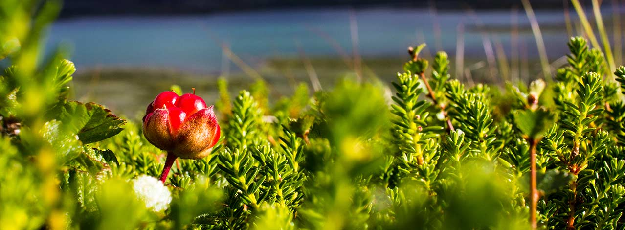 Produktbild för Växter i samisk tradition (1/1)